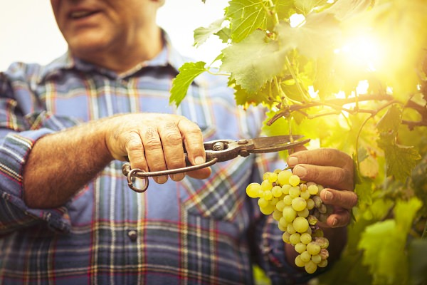 Farmer cutting grape stem