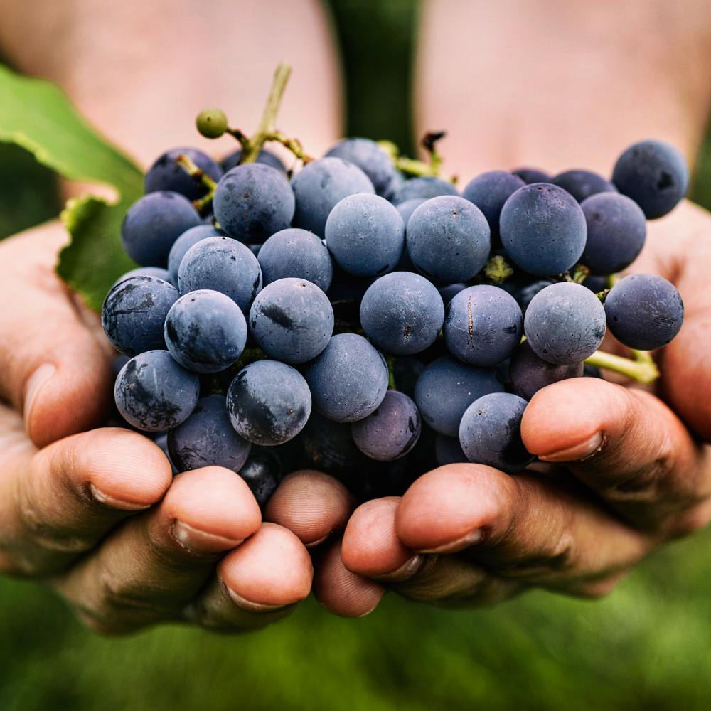 Grapes in farmer's hand
